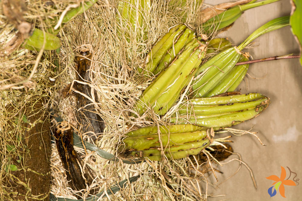 orquideas-eco-br-morfologia-das-orquideas-raizes-9