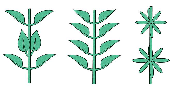 orquideas-eco-br-outras-filotaxias