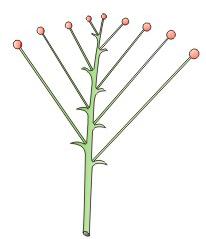 orquideas-eco-br-corimbo