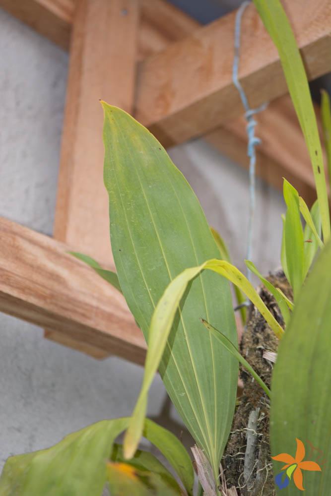 orquideas-eco-br-folhas-16