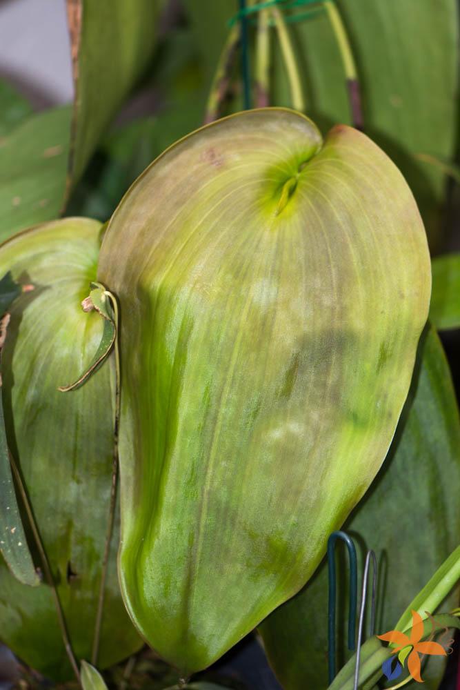 orquideas-eco-br-folhas-17