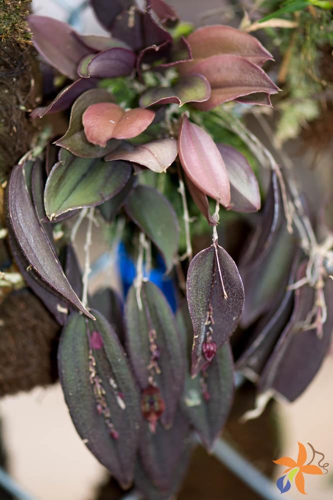 orquideas-eco-br-folhas-18