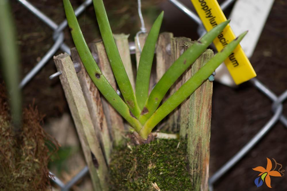orquideas-eco-br-folhas-20
