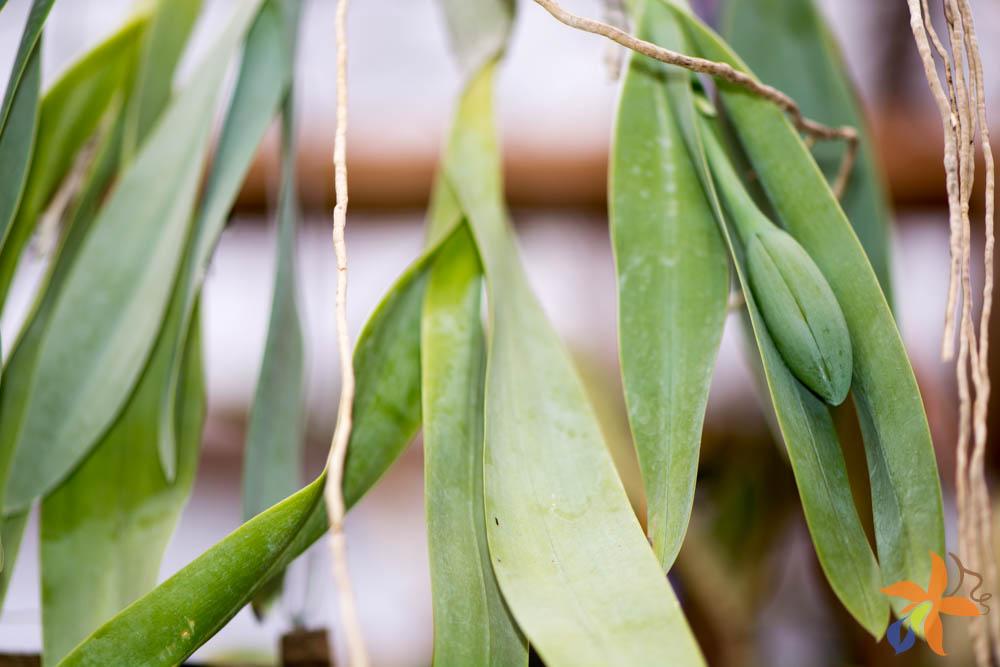orquideas-eco-br-folhas-22