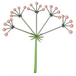 orquideas-eco-br-umbela-composta
