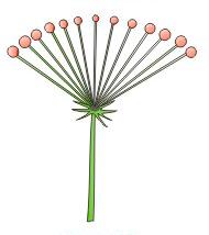 orquideas-eco-br-umbela