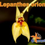 Lepanthes-orion