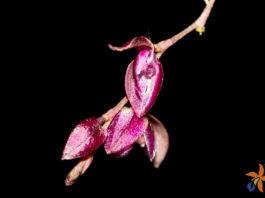 Pleurothallis purpureoviolacea