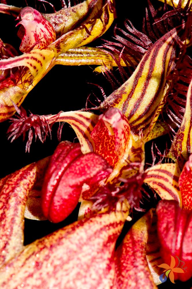 Bulbophyllum rothschildianum
