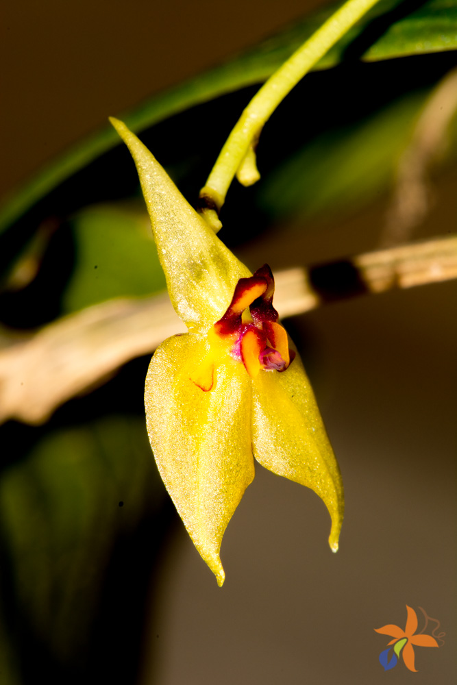 Lepanthes orion
